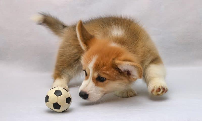 L'achat des jouets est-il indispensable pour le bien-être du chien ?