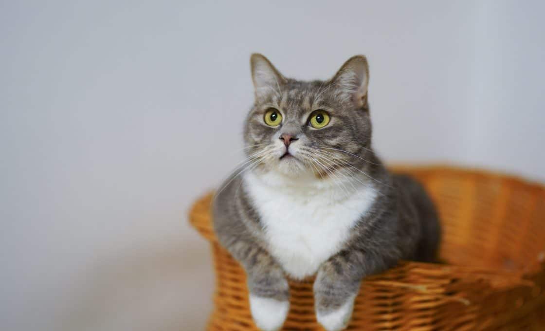 Les meilleures vitamines et minéraux pour le chat