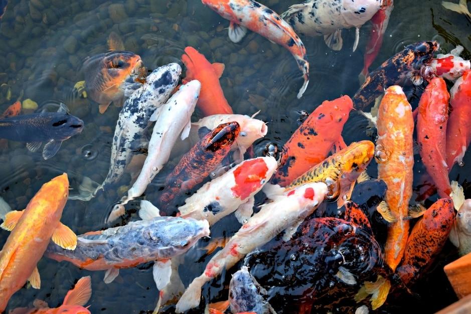 Aperçu sur les bons matériels indispensables pour l'élevage des poissons Koï