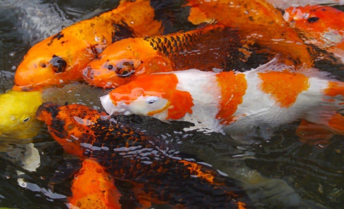 Craquez pour le Tamasaba pour votre bassin d'eau douce !