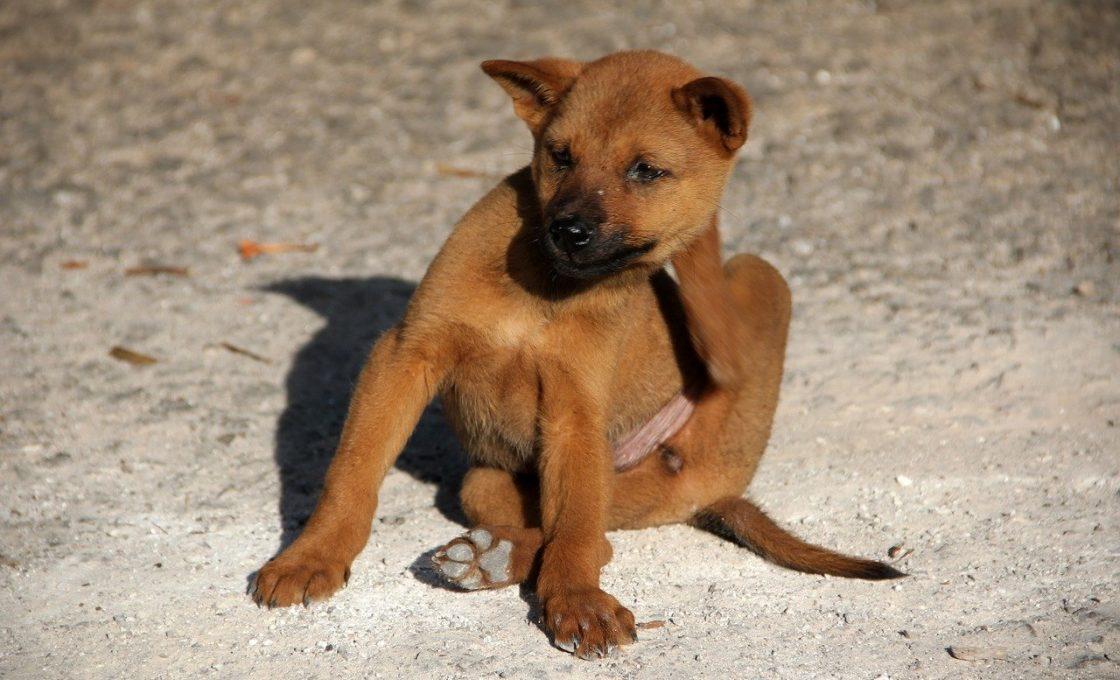 Comment traiter son animal et son logement contre les puces ?